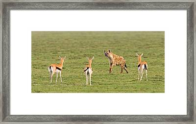 Three Gazelle Fawns Gazella Thomsoni Framed Print by Panoramic Images