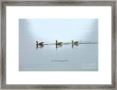 Three Geese A Swimmin Framed Print by Eric Curtin