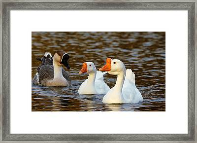 Three Geese Afloat  Framed Print by Lorenzo Williams