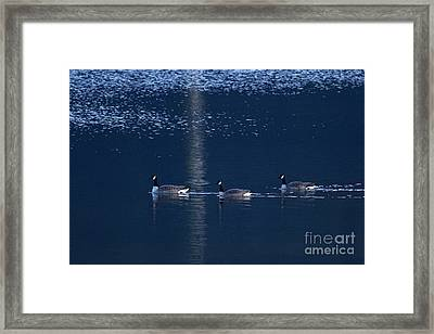 Three Geese Swimming Framed Print