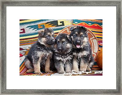Three German Shepherd Puppies Sitting Framed Print