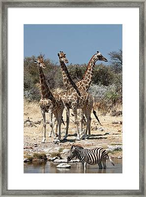 Three Giraffe (giraffa Camelopardalis Framed Print