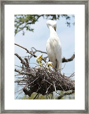 Three Great Egret Chicks In Nest Framed Print by Carol Groenen