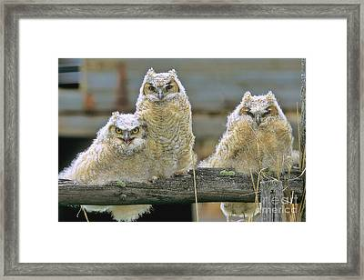 Three Great-horned Owl Chicks Framed Print