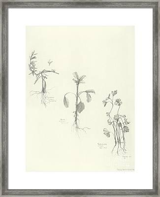 Three Herbs Framed Print