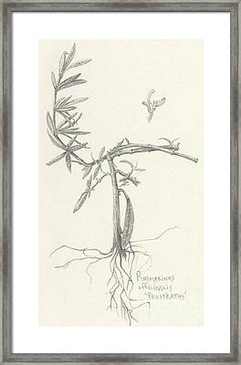 Three Herbs - Rosemary Framed Print