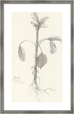 Three Herbs - Tricolor Sage Framed Print
