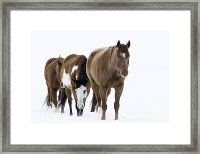 Three Horses Walking Through The Snow Framed Print