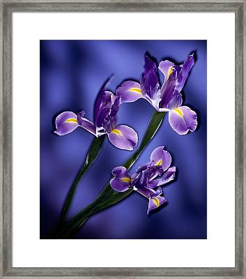 Three Iris Xiphium Framed Print by Kirk Ellison