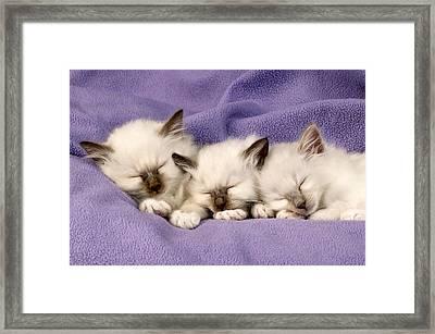 Three Kittens Sleeping Framed Print by Greg Cuddiford