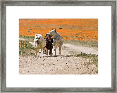 Three Labrador Retrievers Running Framed Print by Zandria Muench Beraldo