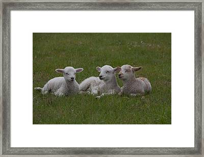 Three Lambs Framed Print by Richard Baker