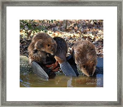 Three Little Beavers Framed Print