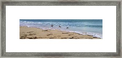 Three Little Birds In Anguilla Framed Print