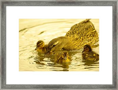 Three Little Duckies And Mom Framed Print by Jeff Swan