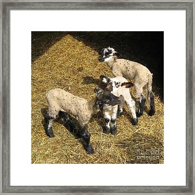 Three Little Lambs In Spring Sunshine Framed Print