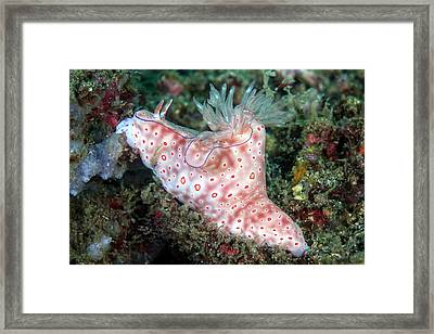 Three-lobed T-bar Nudibranch Framed Print
