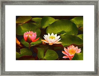 Three Lovely Gracious Waterlilies Framed Print by Byron Varvarigos