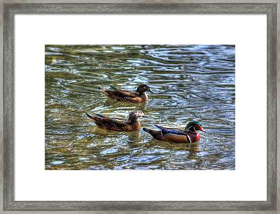 Three Mallard Ducks Framed Print