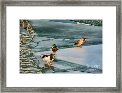 Three Mallards On Partly Frozen Lake Framed Print