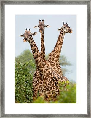Three Masai Giraffe Standing Framed Print