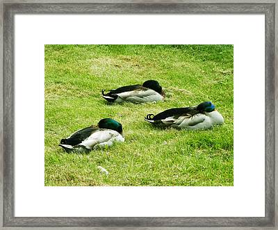 Framed Print featuring the photograph Three Napping Ducks  by Zinvolle Art