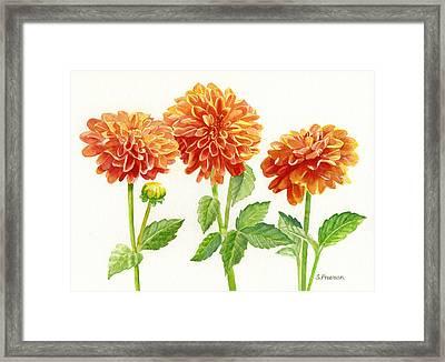 Three Orange Dahlias Framed Print by Sharon Freeman