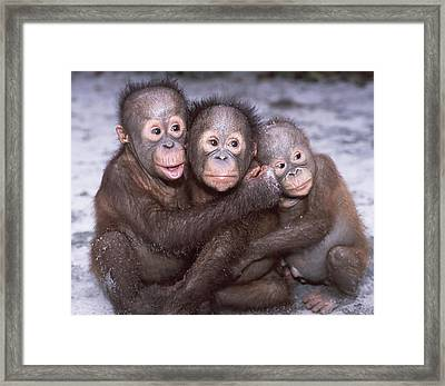 Three Orangutan Babies Framed Print