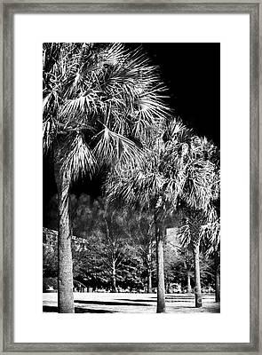 Three Palms In Charleston Framed Print by John Rizzuto