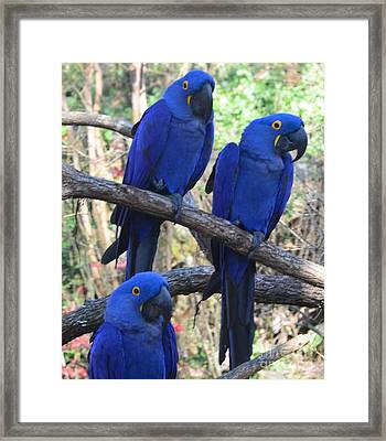 Three Pals Framed Print by Kathleen Struckle