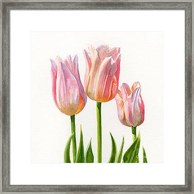 Three Peach Colored Tulips Square Design Framed Print by Sharon Freeman