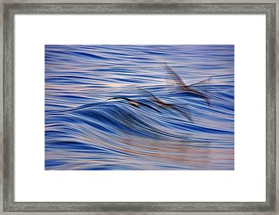 Three Pelican Blur  C6j6160 Framed Print