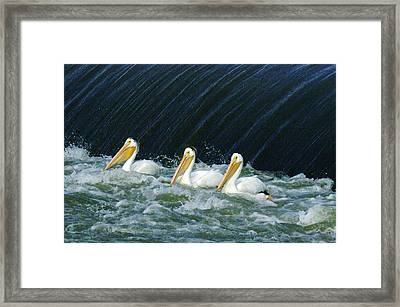 Three Pelicans Hanging Out  Framed Print