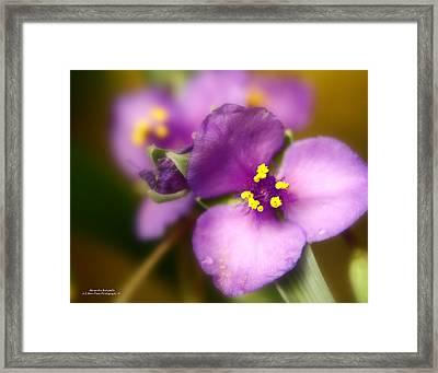Three Petals Of Purple Framed Print by Alexandra  Rampolla