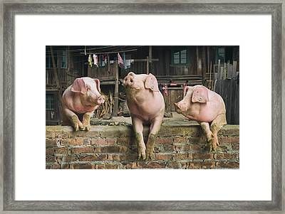 Three Pigs Having A Chat In A Remote Framed Print by Mediaproduction