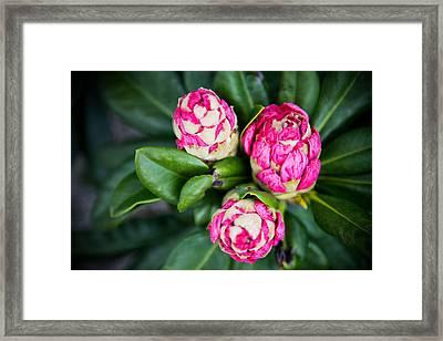 Three Pink Flowers Framed Print