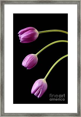Three Purple Tulips Framed Print by Eden Baed
