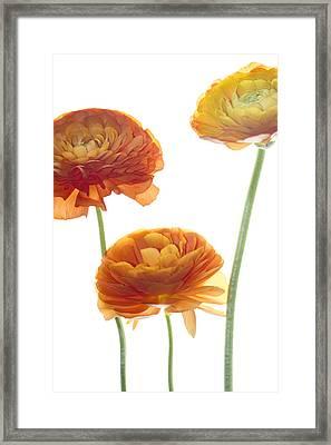 Three Raunuculus Framed Print by Rebecca Cozart