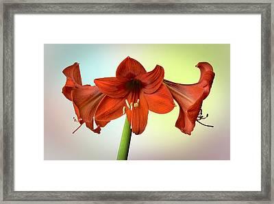 Three Red Amaryllis Framed Print by Bob Mulligan