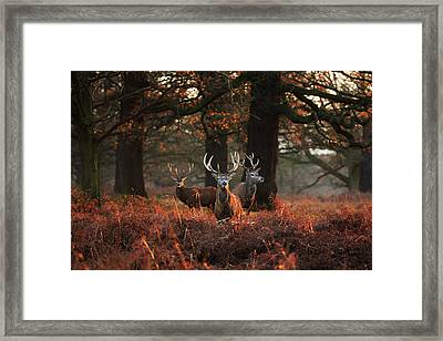 Three Red Deer, Cervus Elaphus Framed Print