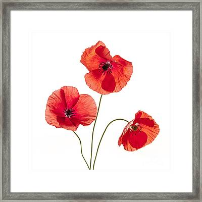 Three Red Poppies Framed Print by Elena Elisseeva