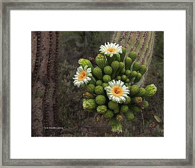Three Saguaro Blossoms And Many Buds Framed Print