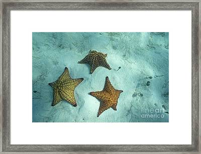 Three Starfishes On Sandy Seabed Framed Print by Sami Sarkis