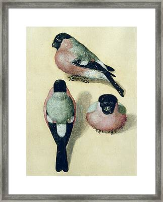 Three Studies Of A Bullfinch Framed Print by Albrecht Durer
