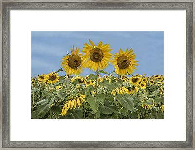 Three Sunflowers At The Front Of A Sunflower Field Framed Print