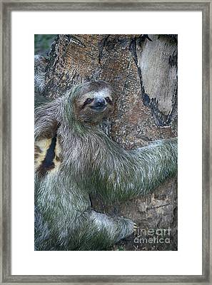 Three Toed Sloth Framed Print by Anne Rodkin