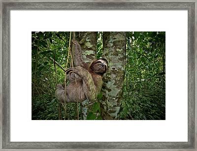 Three-toed Sloth (bradypus Variegatus Framed Print by Andres Morya Hinojosa
