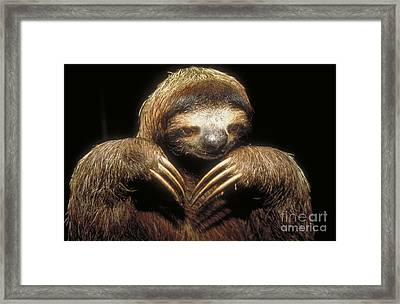 Three Toed Sloth Framed Print by Explorer