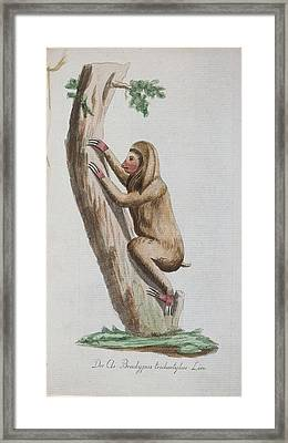 Three-toed Sloth Framed Print by Celestial Images