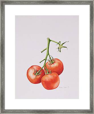 Three Tomatoes On The Vine Framed Print by Alison Cooper